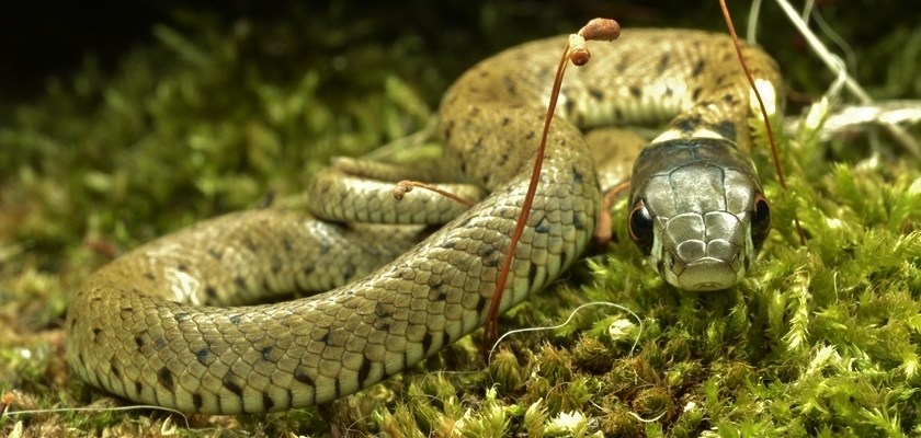 Cobra-de-colarNatrix-natrix-