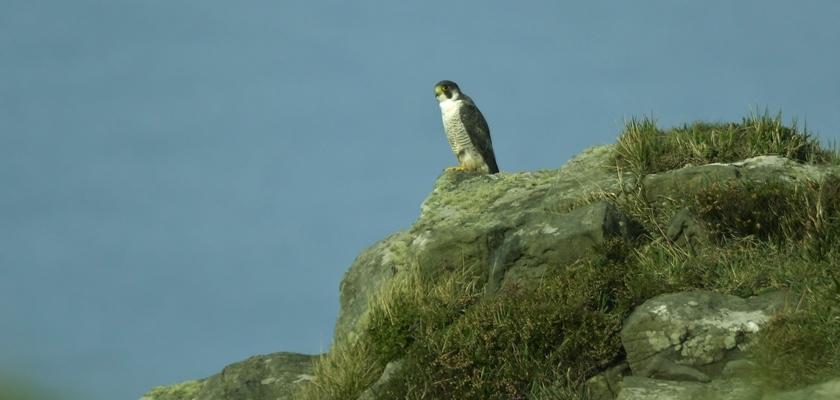 Falcón-peregrino-Falco-peregrinus