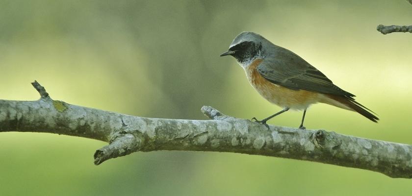 Rabirrubio-de-testa-branca-Phoenicurus-phoenicurus